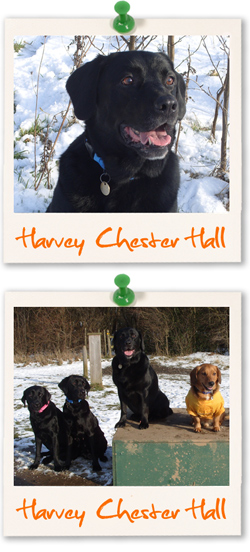 Labrador Retriever of the week - Harvey Chester Hall