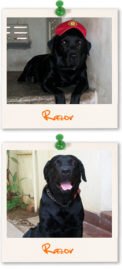 Labrador Retriever of the week - Razor