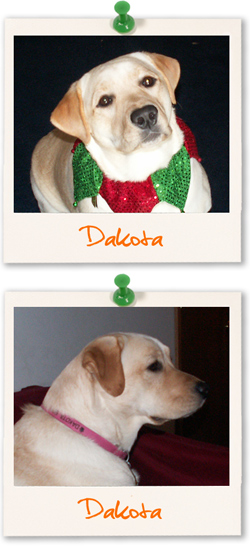 Labrador Retriever of the week is Dakota, a yellow Lab from the USA
