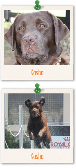 Labrador of the week - Kasha
