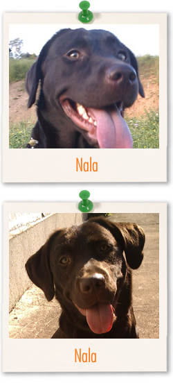 Labrador of the week - Nala