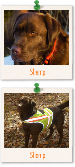 Labrador Retriever of the week is Shemp