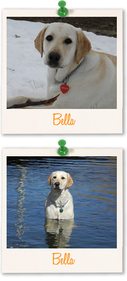 Labrador of the week is Bella