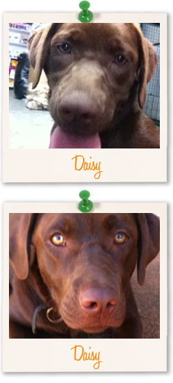 Labrador Retriever of the week - Daisy