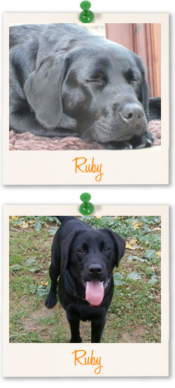 Labrador of the week - Ruby