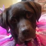 Labrador Retriever of the week