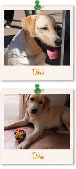 Labrador Retriever of the week - Dóris from Brazil