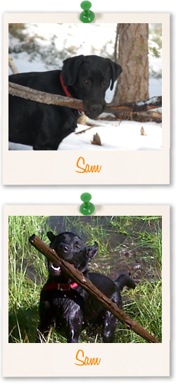 Labrador Retriever of the week - Sam