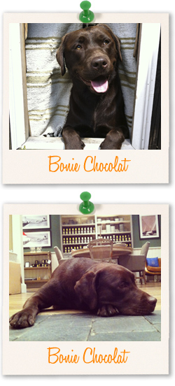Bonie Chocolat - Labrador of the week