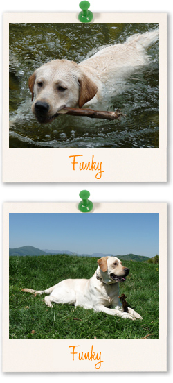 Funky the Labrador Retriever from Italy