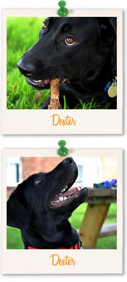 Black Labrador Dexter