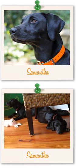 Black Labrador Samantha