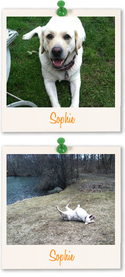 Labrador of the week - Sophie-Anne