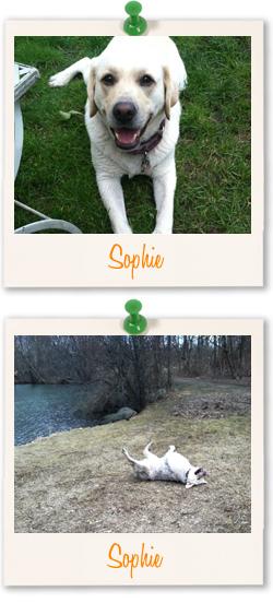 Labrador of the week - Sophie-Anne