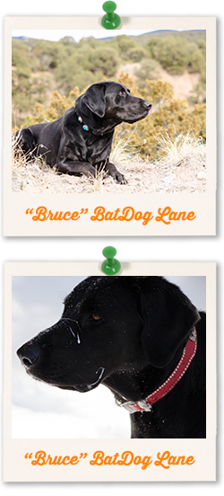 """Bruce"" BatDog Lane"
