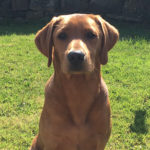Labrador of the week – Duke