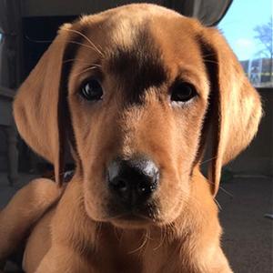 Duke the Labrador Retriever