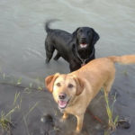 Yellow Labrador Retriever Riley and a black Labrador in a river